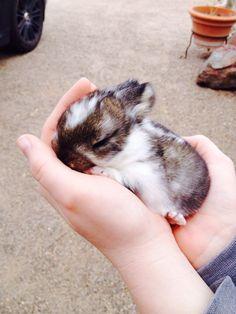 Baby holland lop bunny names cinnamon roll