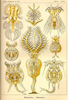 Rotatoria by Ernst Haeckel; Kunstformen der Natur, 1900