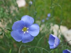 Second Silver - Blue Flax seed: Linum lewisii (Linaceae) Spring Plants, Spring Garden, Seeds, Flowers, Silver, Blue, Royal Icing Flowers, Flower, Florals