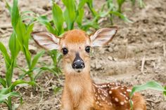 10 Things Most Hunters Don't Know About Whitetail Deer 10 Things Most Hunters Don't Know About Whitetail Deer,Hunting Tips Hunting Tips: 10 Things Most Hunters Don't Know About Whitetail Deer. Whitetail Deer Pictures, Whitetail Deer Hunting, Deer Hunting Tips, Deer Hunting Blinds, Whitetail Bucks, Hunting Stuff, White Tailed Deer Facts, Facts About Deer, Turkey Hunting Season