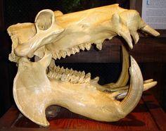 hippo skull - Google Search