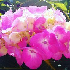 ウチの紫陽花(ピンク) #landscape