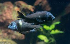 Duboisi Cichlide, Tropheus duboisi Victoria Lake, Fish Tank, Fish Fish, Cichlid Fish, Lake Tanganyika, Pretty Fish, Fishing World, African Cichlids, Mundo Animal