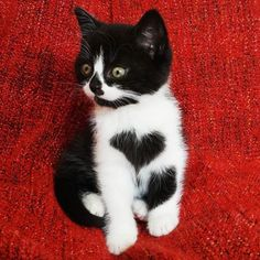 The cutest little black and white cat we've ever seen has to be Zoë, the cat with a heart on her chest. She's basically the cat version of a Care Bear, and it might be too much cuteness for us to handle. by annmarie