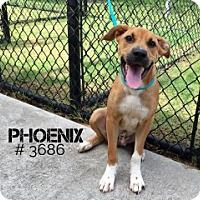 This Dog - URGENT -  Alvin Animal Adoption Center in Alvin, Texas - ADOPT OR FOSTER - Male PUPPY Black Mouth Cur/Labrador Retriever Mix