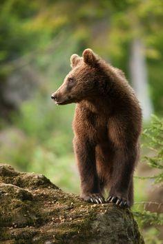 The Little One by Sven Dannhäuser on 500px - Bear Cub