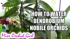 How to water Dendrobium Nobile orchids - Tips for healthy orchids