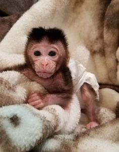 puppies cats birds kittens and exotic pets - exotic pets for sale - macaw Pet Fox For Sale, Baby Monkey For Sale, Monkeys For Sale, Baby Monkey Pet, Pets For Sale, Cute Monkey, Baby Owls, Baby Animals Pictures, Cute Baby Animals