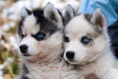 2 pomsky pups