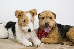 My dogs : Wire Fox Terrier - Weenie Welsh Terrier mix - Markiz