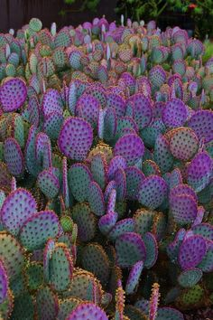 OK we are IN LOVE Magenta Prickly Pears Find cactusinspired decor at Forest Homes homedecor natureinspired homedecorideas decor decorideas # Succulent Gardening, Cacti And Succulents, Planting Succulents, Planting Flowers, Organic Gardening, Cactus Seeds, Cactus Art, Cactus Flower, Cactus Plante