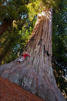 """""""Robin William had 260 Redwood seedlings planted over 21 consecutive years. We honor him as a hero."""" - savetheredwoods.org"""