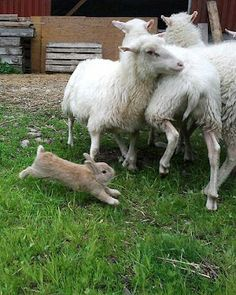 ADORABLE!  A sheep herding bunny.  Scroll down to watch video.