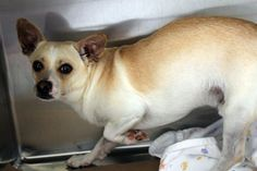 RETURNED TO OWNER>NAME: Prince ANIMAL ID: 24486828 BREED: Chi SEX: male(neutered) EST. AGE: 2 yr Est Weight:16 lbs Health: heartworm neg Temperament: dog friendly, people friendly ADDITIONAL INFO: RESCUE PULL FEE: $35 Intake date: 3/15 Available: 3/21
