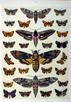Death's Head Moth - Acherontia - 8x10 - Fine art print of a deathshead vintage…