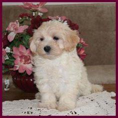 ♥D♥ 144 MALTICHON PUPPY Bichon puppies for sale, Puppies