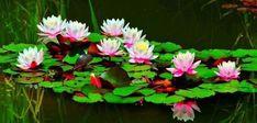 Water Garden, Plants, Plant, Water Gardens, Planets