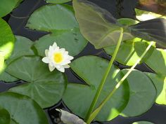 Water lily and the Imperial Taro in the pond