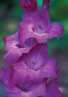 FIDELIO, 1959 - A very rosy, joyful purple, 'Fidelio' is named for Beethoven's only opera, a hymn to loyalty, love, and freedom. Try a few combined with silvery Russian sage or tall artemisia – stunning! 4 feet