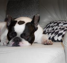 My French Bulldog