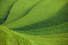 /by Thắng Sói #flickr #vietnam #rice #green