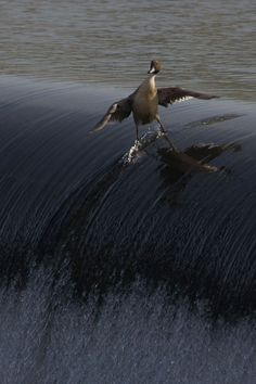 Funny pictures about You'll never see a duck as majestic as this. Oh, and cool pics about You'll never see a duck as majestic as this. Also, You'll never see a duck as majestic as this. Animals And Pets, Funny Animals, Cute Animals, Nature Animals, Clever Animals, Happy Animals, Beautiful Birds, Animals Beautiful, Animal Pictures