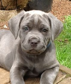Blue Cane Corso Mastiff. I say let them keep their ears!