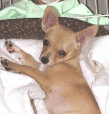 Can Chihuahua Dogs Cure Asthma