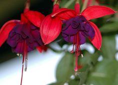 Fuchsia - two flowers & bud.   Flickr - Photo Sharing!