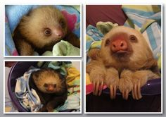 Sloths at Toucan Rescue Ranch in Costa Rica