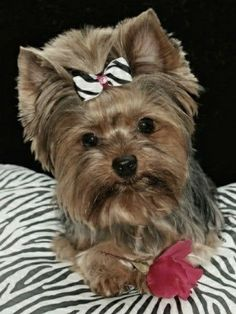 Yorkie Names, Puppies And Kitties, Yorkie Puppy, Cute Puppies, Cute Dogs, Animals Beautiful, Cute Animals, Small Animals, Silky Terrier