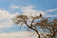 Indian Monkey by Kailash Kumar on Indian Monkey, Indian Animals, States Of India, Animal 2, Westerns, Around The Worlds, Clouds, Outdoor, Outdoors