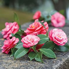 2nd of Charleston's 5 Iconic Plants   Camellia   SouthernLiving.com