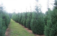 Looking for in the GTA? We offer a good selection of and Feel free to visit our GTA area tree nursery and see our selection. Arborvitae Tree, Conifer Trees, Deciduous Trees, Fast Growing Evergreens, Fast Growing Trees, Cedar Trees, Cypress Trees, Thuja Green Giant, Emerald Green Arborvitae