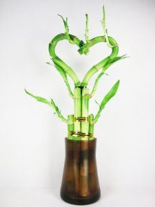 - Live Heart Shape 6 Style Lucky Bamboo (Green) Plant Arrangement w/ Tall Glass Vase Indoor Bamboo Plant, Lucky Bamboo Plants, Indoor Plants, Bamboo Palm, Bamboo Garden, Tall Glass Vases, Office Plants, Live Plants, Fresh Flowers