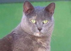 Heidi-an-adoptable-female-cat-in-Oklahoma