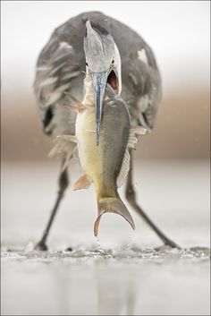 Great blue heron with snack by Georg Scharf. Great photo, Mr. Scharf, from a Pinterest admirer