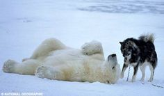 """I'm pooped - let's just lay down and snuggle for a little."" polar bear and husky friends (hva)"