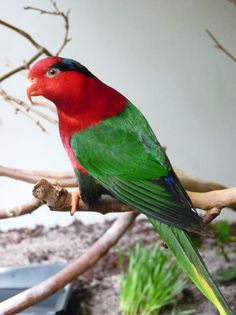 Papuan Lorikeet, Stella's Lorikeet or Mount Goliath Lorikeet - (Charmosyna papou) - found in West Papua, Indonesia, in sub-tropical or tropical, moist montane forests West Papua, Cockatoo, Budgies, Colorful Birds, Bird Feathers, Beautiful Birds, Animal Kingdom, Special Gifts, Parrot