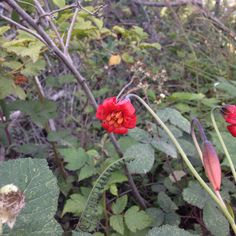 Lilium maritimum - coast lily