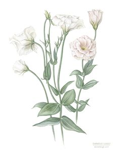 Daniele Lugli » Eustoma grandiflorum