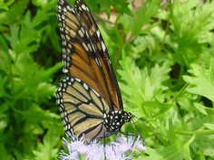 Ageratum-Monarch Butterfly