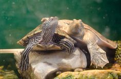 Captive turtles on display at Fort Worth Nature Preserve.