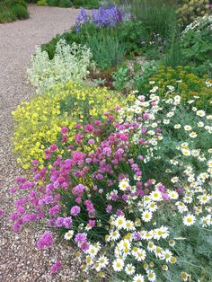 A lovely combination in the Gravel Garden: The white long lasting white daisies of Anthemis punctata subsp. cupaniana look great with pink Armeria pseudoarmeria, Helianthemum 'Wisley Primrose', Euphorbia polychroma, Stachys byzantina 'Primrose Heron' (Lamb's ears) and Iris pallida subsp. pallida.