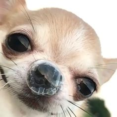 It's Finally Friday So Enjoy a Big Batch of Funny Memes and Random Pics Funny Animal Jokes, Funny Dog Memes, Cute Funny Animals, Funny Animal Pictures, Funny Cute, Funny Dogs, Cute Cats, Funny Chihuahua Pictures, Cute Chihuahua