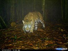 FOTO 4. Autor: Iván Lira Torres Localidad: La Fortaleza, Santa María. Chimalapas. Oaxaca (México) Especie: Jaguar (Panthera onca) Título: El último gran señor de la selva
