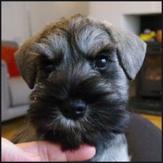 66 best dog grooming images on pinterest cat cats and cute dogs 7 week old miniature schnauzer puppy head trim 3 photo with thanks to gill clark solutioingenieria Image collections