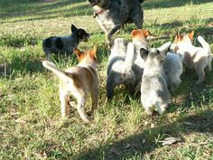 My brother's Australian cattle dog puppies