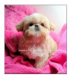 Imperial Shih Tzu Puppies Imperial Shih Tzu Puppies For Sale Shih Tzu Puppy Imperial Shih Tzu Shih Tzu