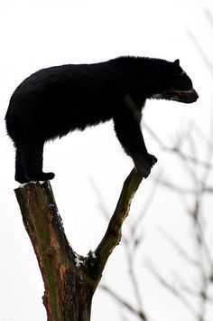Bear acrobatics by Tambako the Jaguar, via Flickr